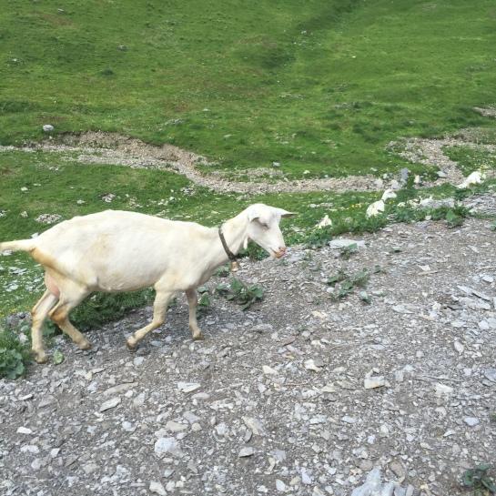 7 goat